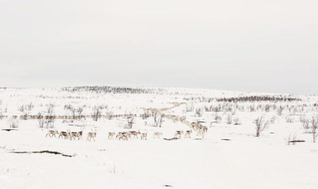 Reindeer herding tradition